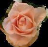 PNG Virágok
