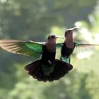 Duo en vol (avec un petit colibri huppé) - Photo : Yvon