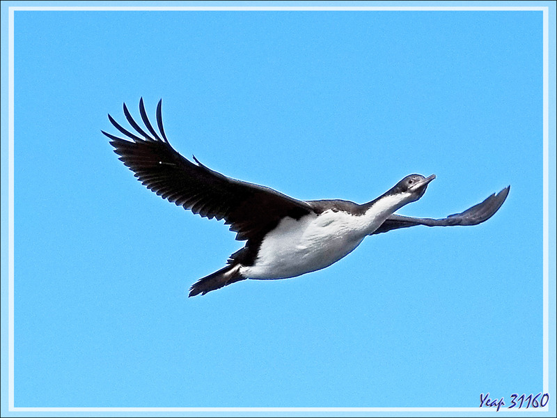 Pendant le changement de lieu de mouillage, nous pouvons observer des oiseaux marins, Cormorans et Pétrels entre autres - New island - Falkland (Malvinas, Malouines) - Grande-Bretagne
