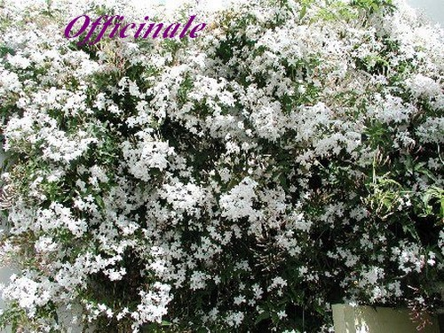 JASMINUM%20OFFICINALE