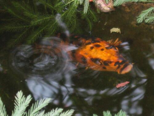 Le-bassin-aux-poissons-rouges-2447.JPG