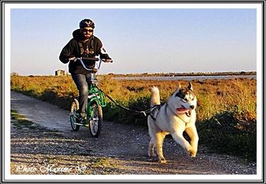 Husky cani-trottinette