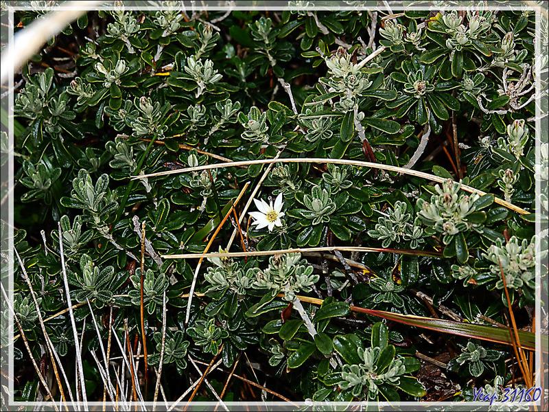 Mata negra (Es), Yeya (Yagan) (Chiliotrichum diffusum) LA FLEUR du Cap Horn - Patagonie - Chili