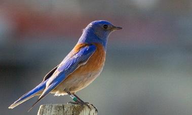 L'oiseau bleu ...