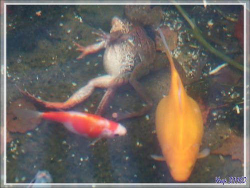 Saison des amours 2018 pour les Grenouilles rousses (Rana temporaria) - Lartigau - Milhas - 31