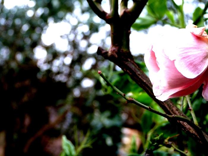 Rose, arrière-plan flou