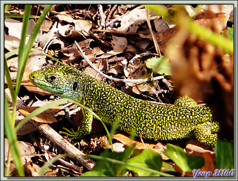 Lézard vert occidental (Lacerta bilineata) - La Couarde-sur-Mer - Ile de Ré - 17