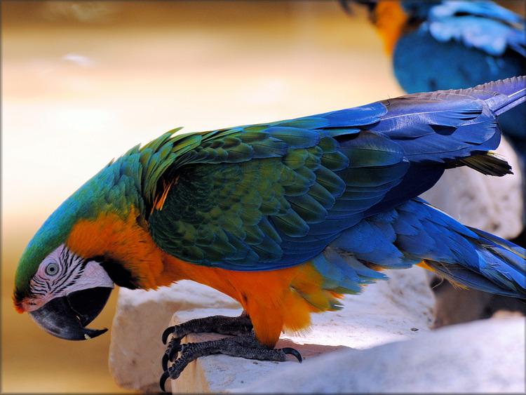 Photo du Ara Ararauna du Zoo de la Palmyre