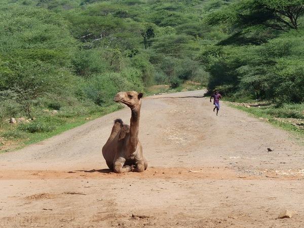 un jeune dromadaire bloque la route