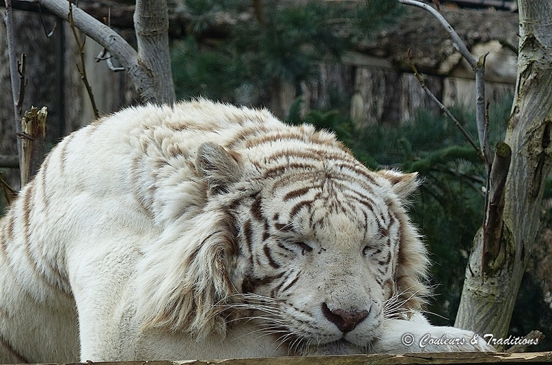 Tigre Blanc du Bengale