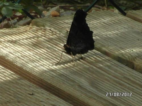 Retour du papillon et 2012 chanté