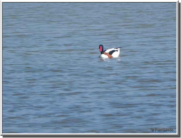 Parc ornithologique du Teich - tadorne de belon