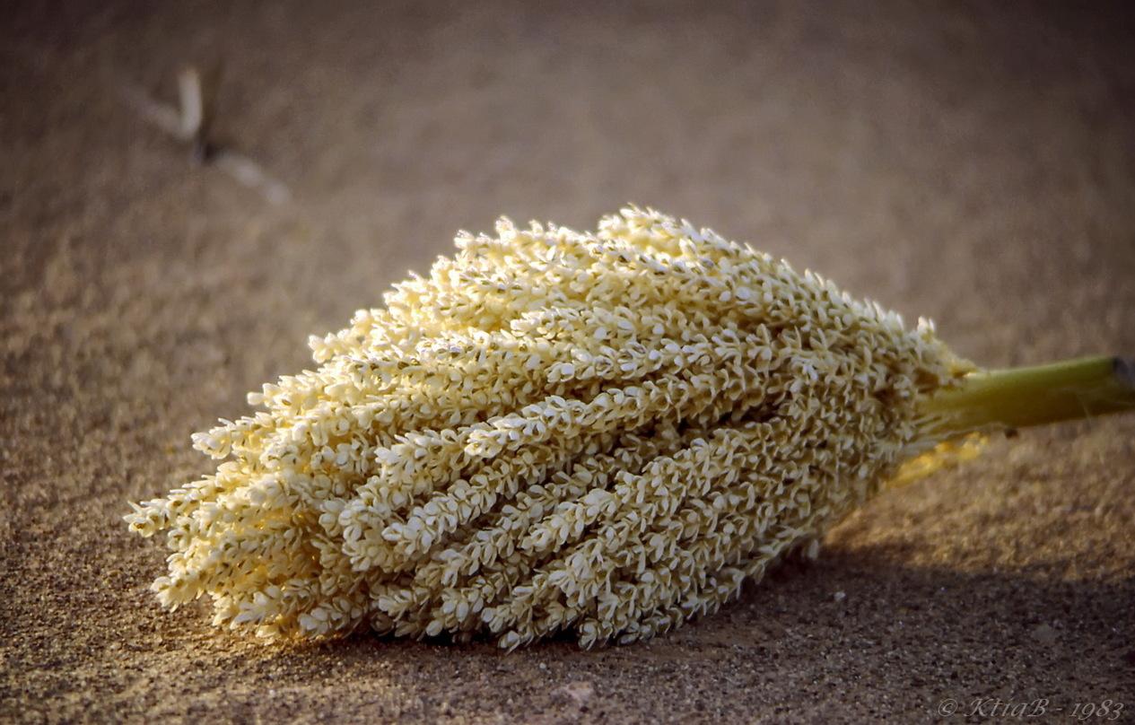 Fleur de palmier dattier
