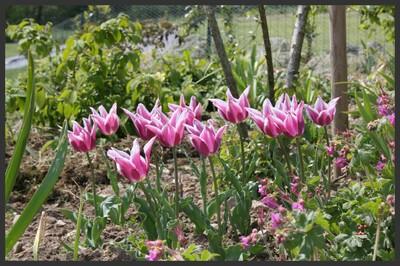 tulipe 'ballade'