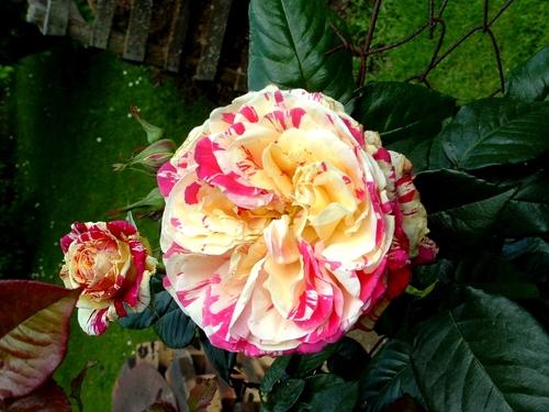 Saint Yrieix sous Aixe (87) : c'était ce dimanche la 14ème édition de la Fête de la Rose sous un ciel bleu. Diaporama 1/3