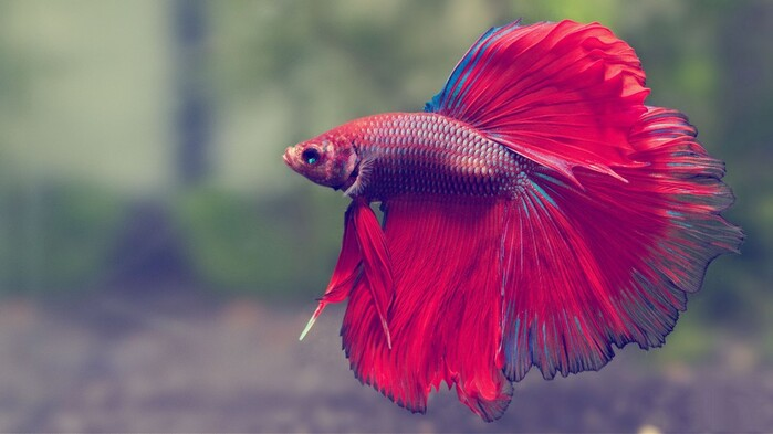 Rosetail Betta, Poisson D'Avril
