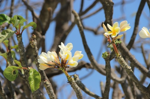 Fleurs de Birmanie, suite