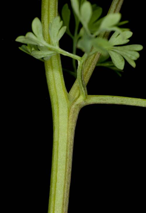 Vertus médicinales des plantes sauvages : Fumeterre
