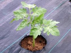 Dernières plantations sous les abris