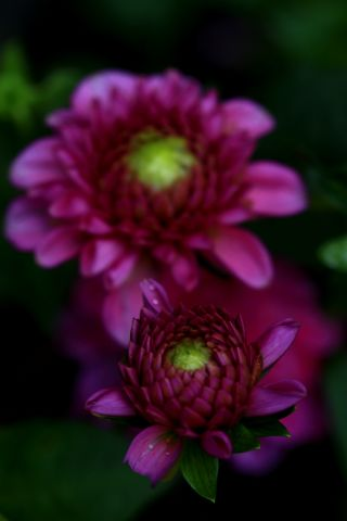 Dahlias : Purple Fox