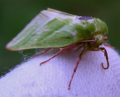 La Halias du hêtre - Pseudoips prasinana
