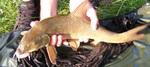 Pêche Barbels 2013