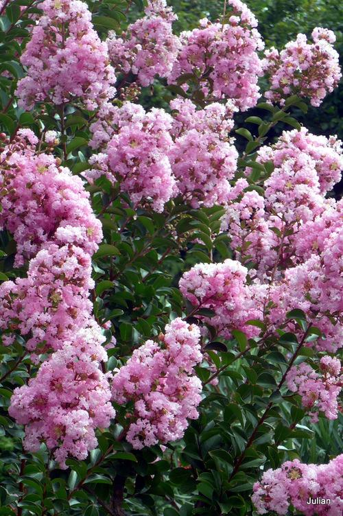 Les lilas des Indes roses !