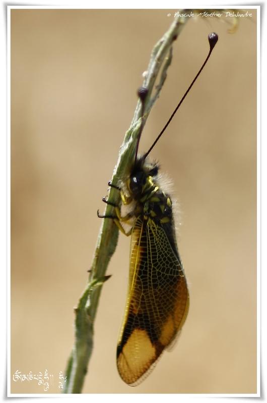 Ascalaphe ambré - Libelloides longicornis (Linnaeus, 1764)
