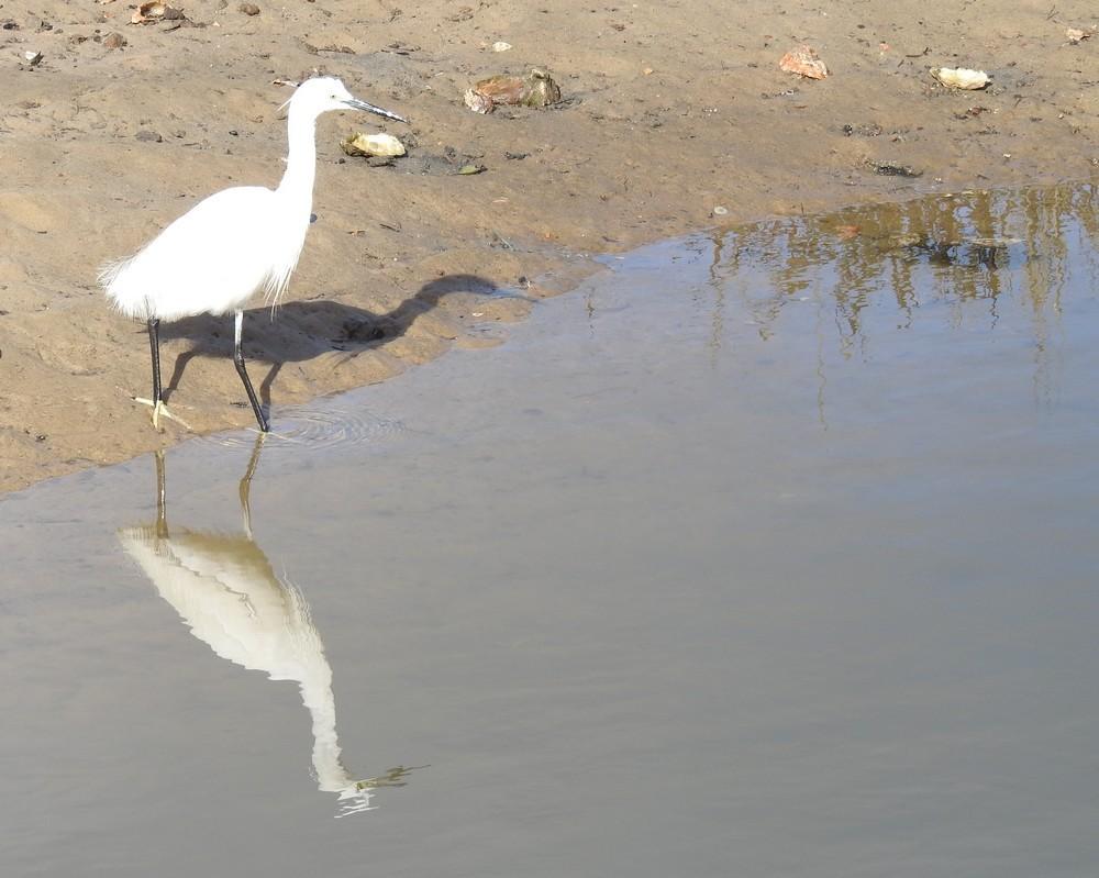 L'aigrette, son reflet et son ombre...