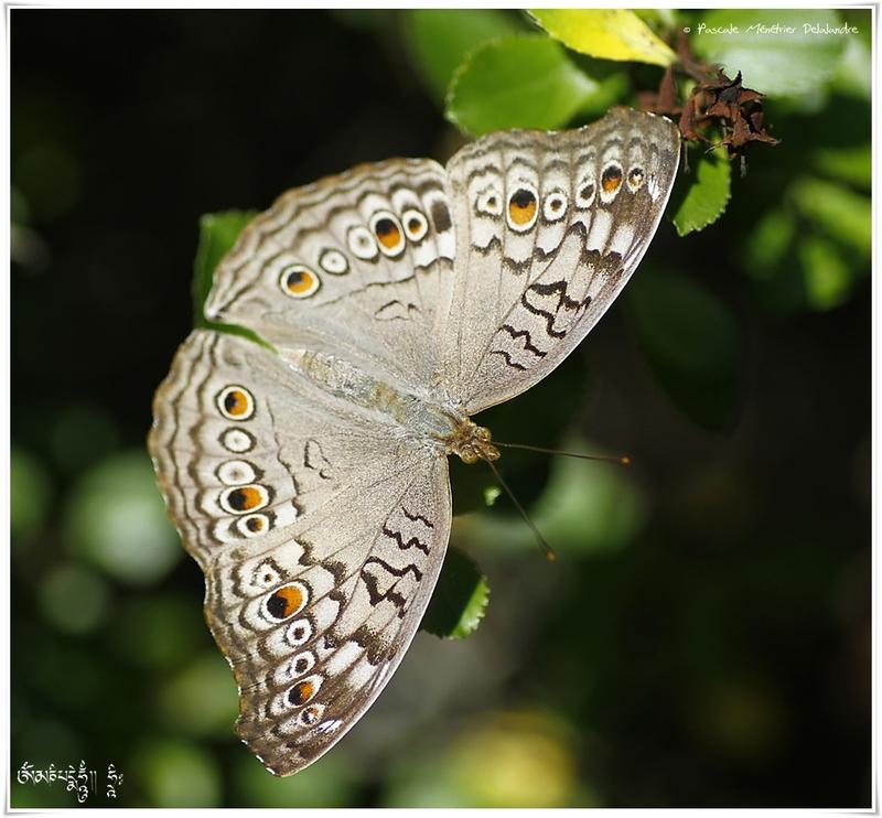 Precis atiltes - Nymphalidae - Malaisie