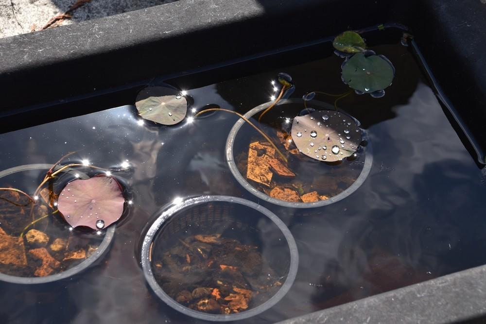 Perles de pluie sur les feuilles de lotus...