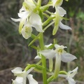 orchis à deux feuilles -4 (Platanthera bifolia)
