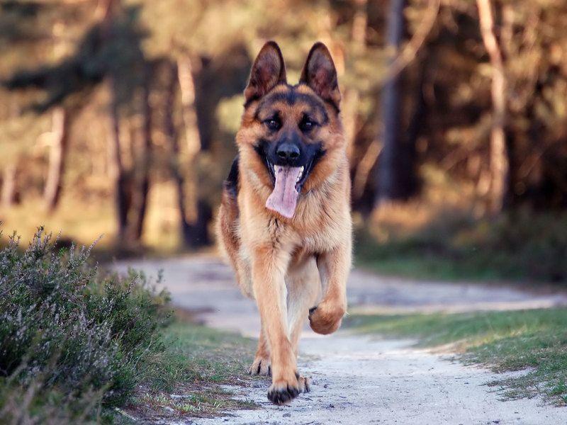 German-Shepherd-Animal-Picture-2864.jpg