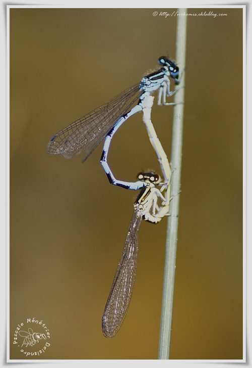 Coenagrion mercuriale encouple (Agrion de mercure)