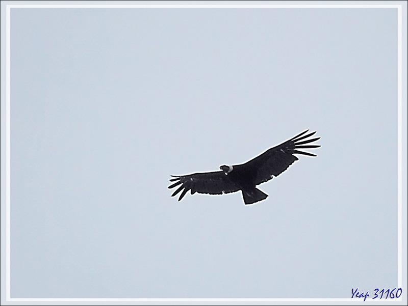 Très haut dans le ciel sans relief, deux condors planaient - Glacier Aguila - Terre de Feu - Patagonie - Chili