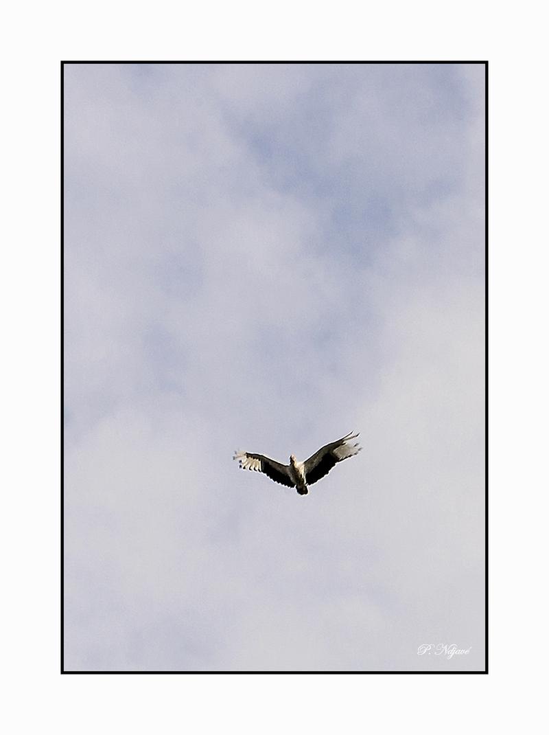 Hérons, aigrettes, anhingas, cormorans, ombrettes.....