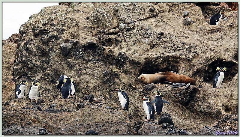 Dans les falaises, cohabitent Gorfous de Moseley, Otaries à fourrure, Éléphants de mer ... - Nightingale Island - Tristan da Cunha