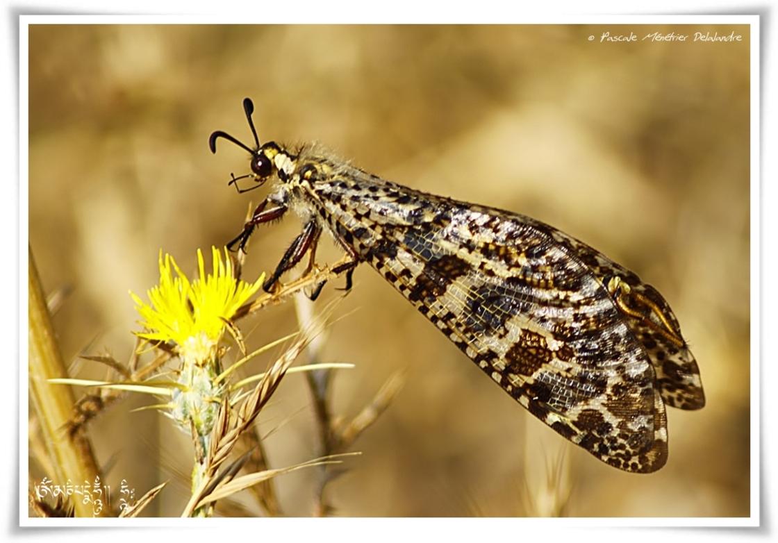 Palpares libelluloides ♀ - fourmilion géant
