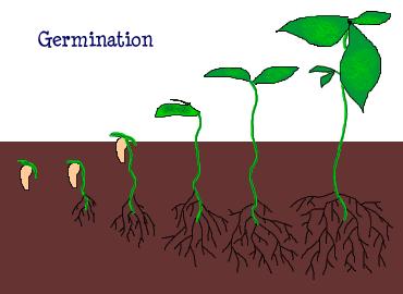 La germination des graines et la croissance des plantes le cartable de tima l - Plante a la gomme ...