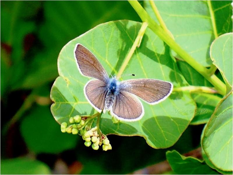 Azuré Commun ♂ (Polyommatus Icarus) ...
