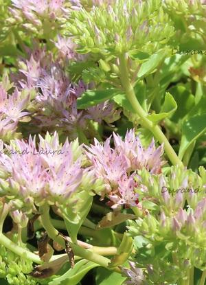 Sedum Spurium en fleur