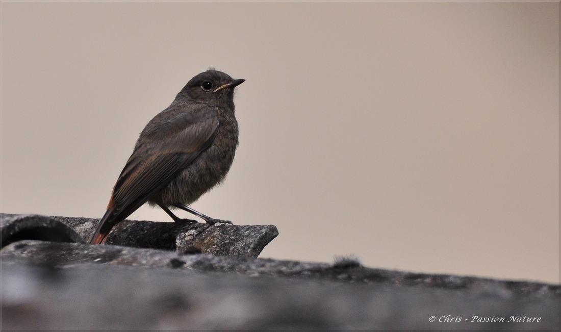 Rouge-queue noir juvénile