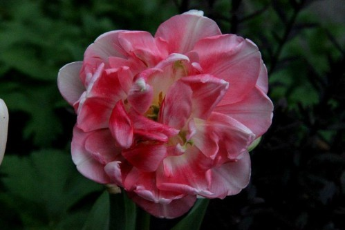 Tulipes Finola