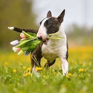 #Repost @minibullterrier007 with @grabapp FOLLOW #bullterrierforever…