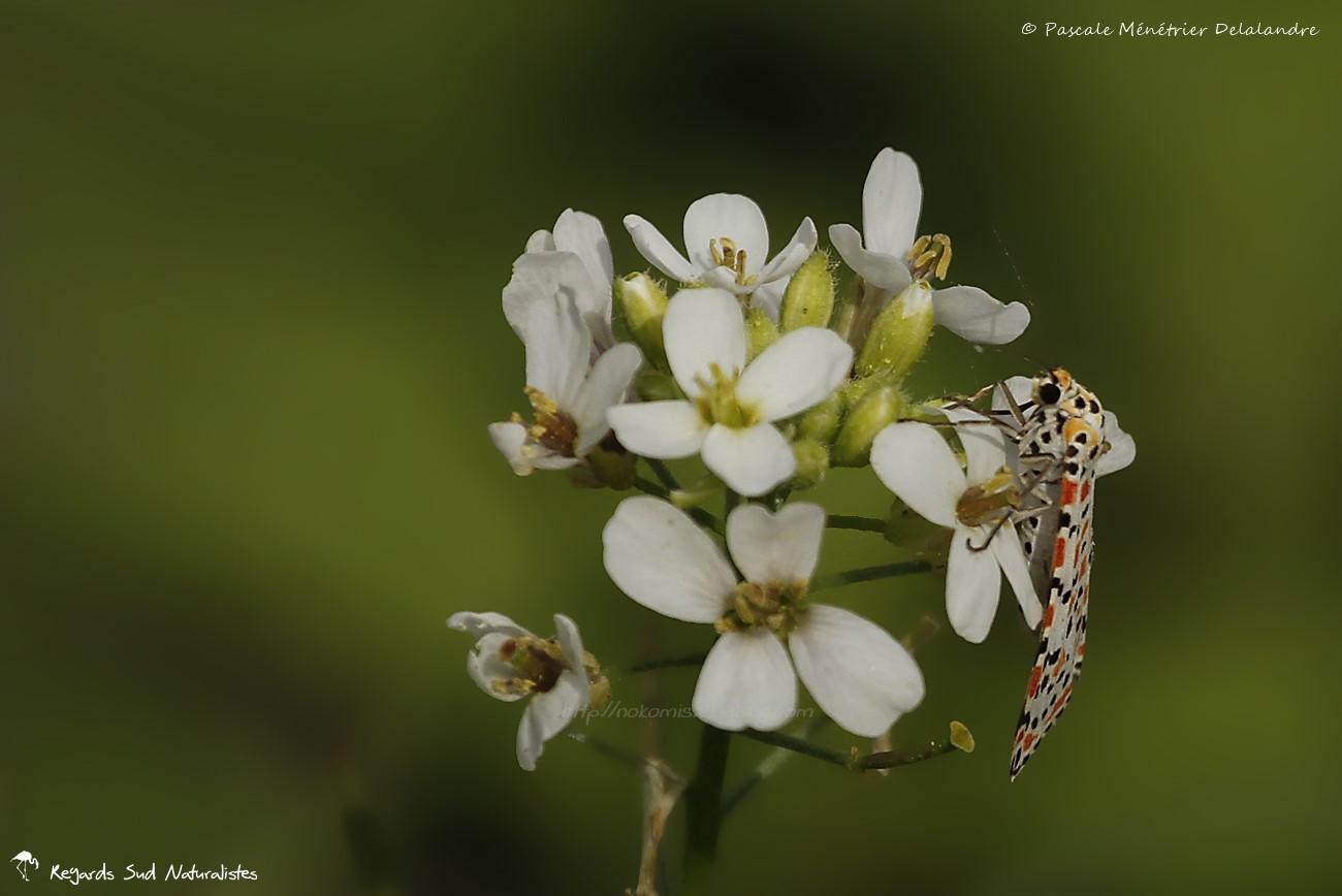 Larbin Crimson mouchetée ( Utetheisa pulchella )