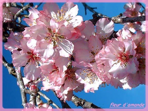 fleur d'amande pf