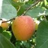 Un abricot gorgé de soleil