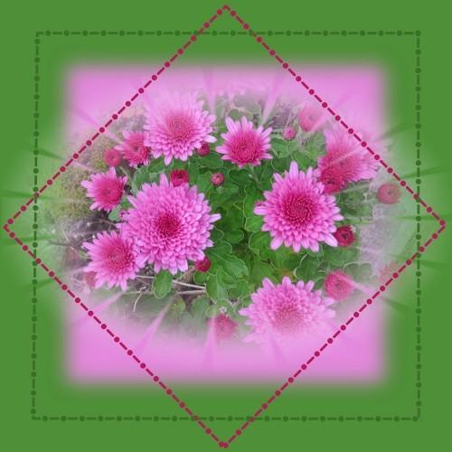 chrisantheme