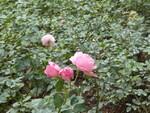 Fontfroide et sa roseraie