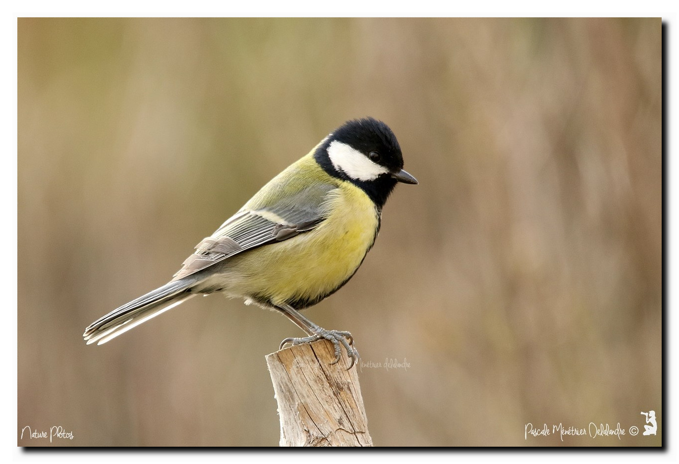 Mésange charbonnière - Parus major - Great Tit